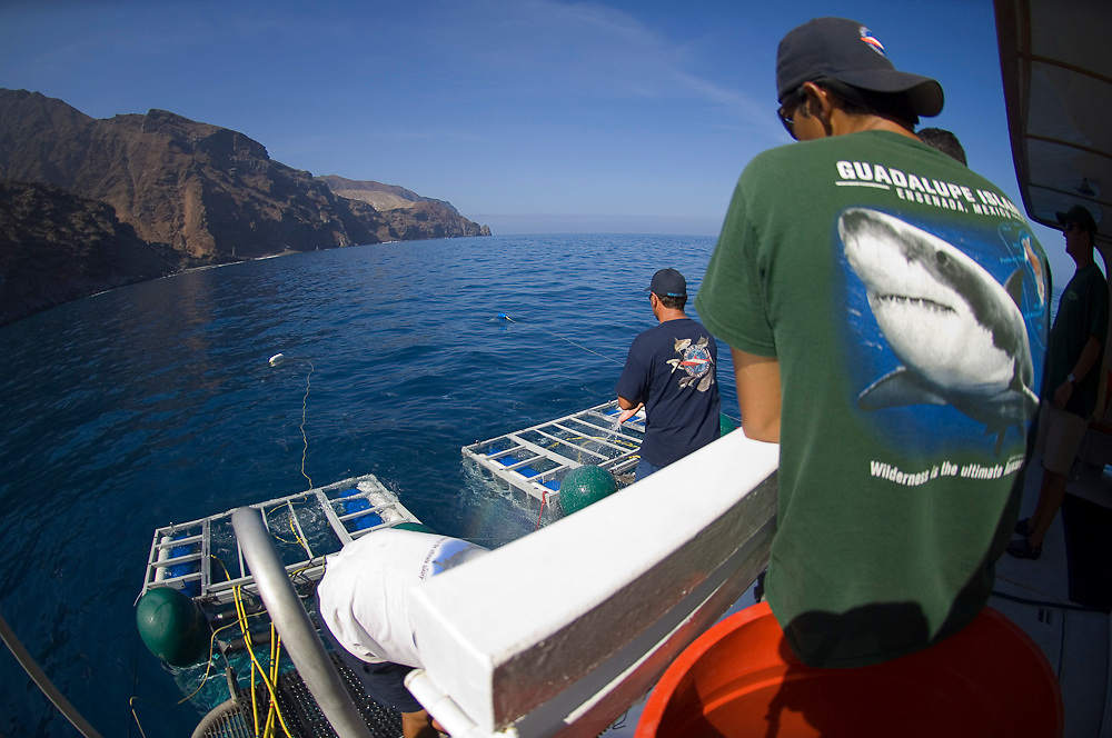 Crew of dive vessel Solmar chums Great White Sharks, Carcharodon carcharias, to the vessel in Guadalupe Island, Mexico