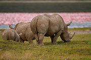 White rhinoceros or Square-lipped rhinoceros (Ceratotherium simum) with calf Photographed Lake Nakuru, Kenya