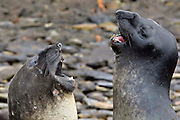 Fighting is a characteristic of southern elephant seals and young males often jostle in training for future competitive fights