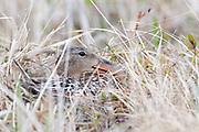 Northern Shoveler, Anas clypeata, female on nest, Yukon Kuskokwim Delta NWR, Alaska