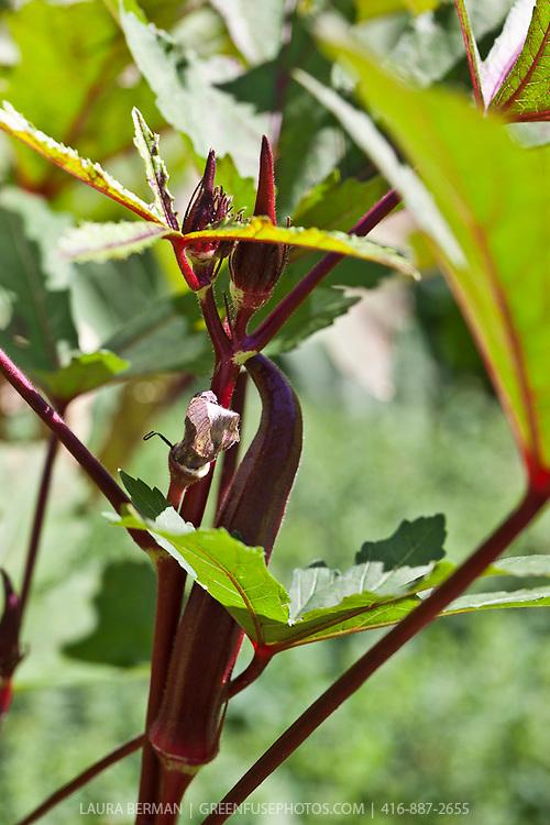 Burgundy Okra flower (Abelmoschus esculentus)