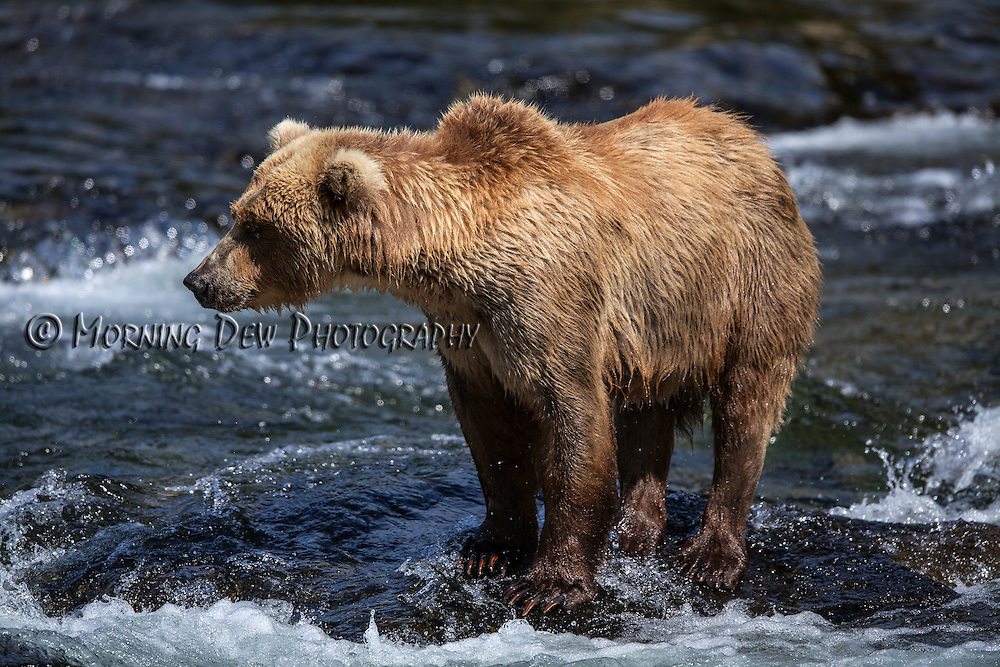 An Alaskan brown searches for salmon in the riffles of Brooks River.