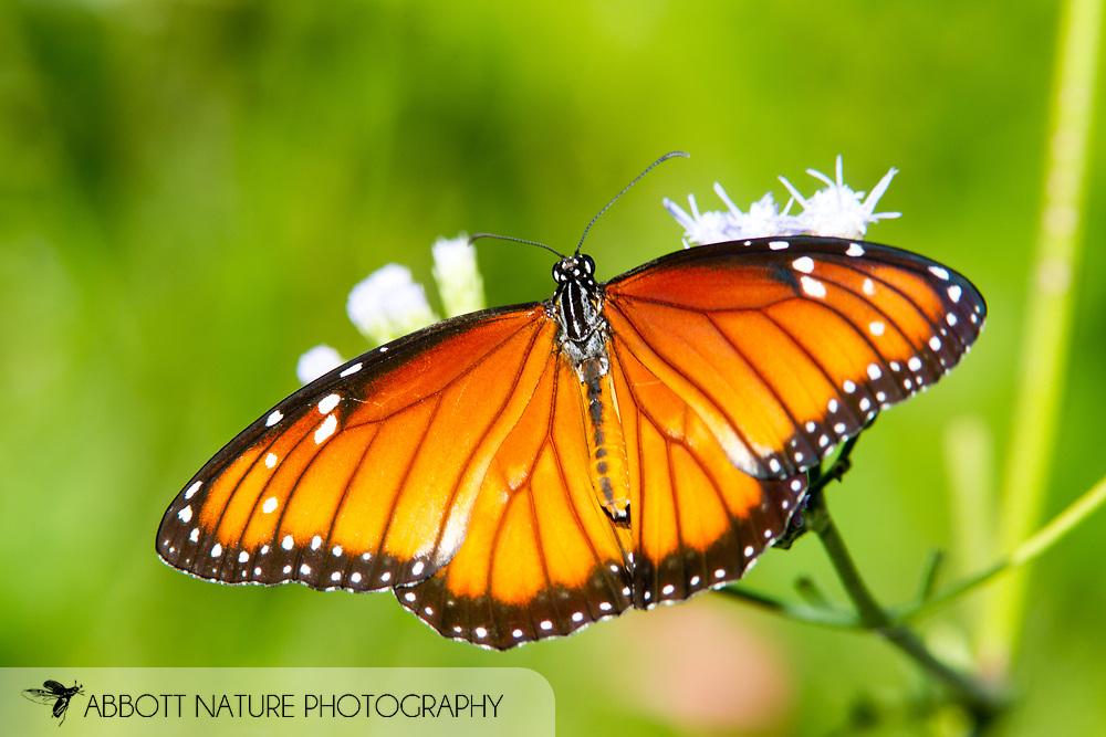 Soldier (Danaus eresimus)<br /> TEXAS: Hidalgo Co.<br /> NABA National Butterfly Center<br /> 8-Nov-2014<br /> J.C. Abbott &amp; K.K. Abbott