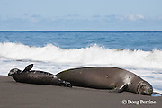 Hawaiian monk seal, Monachus schauinslandi ( Critically Endangered species, endemic to Hawaiian Islands  ), with bleached i.d. mark on fur, resting on beach with two week old pup, Waimanu Valley, Hawaii Island ( Pacific Ocean )