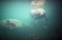 Manatee, under water.  Chrystal springs, Florida, USA 10-2002