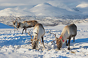 Reindeers in natural environment in Tromso region, Northern Norway.