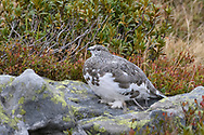 Rock ptarmigan (Lagopus muta) on the Niederhorn, Interlaken, Berne, Switzerland