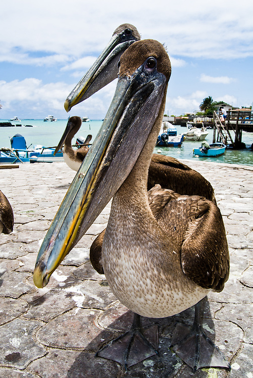 Brown Pelican. Santa Cruz, Galapagos, Ecuador.(Pelecanus occidentalis)