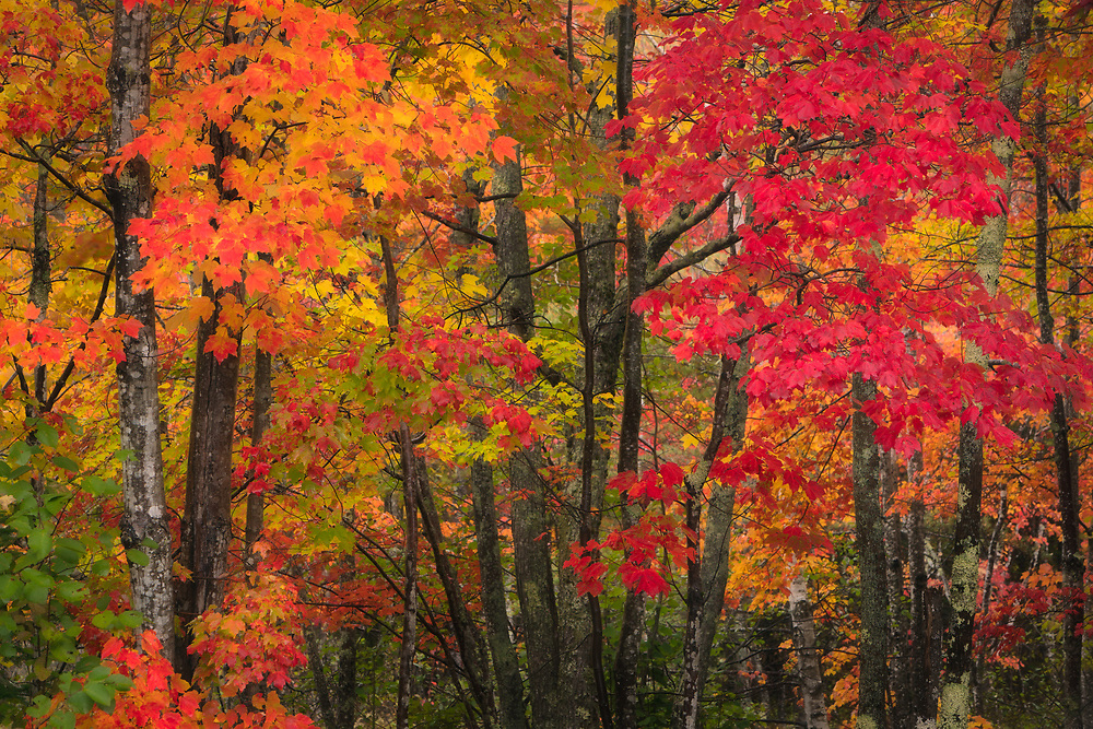 Colorful autumn red maples at peak in Acadia National Park, Maine, USA