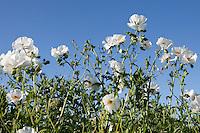 White Prickly Poppy (Argemone albiflora), DeWitt County, Texas