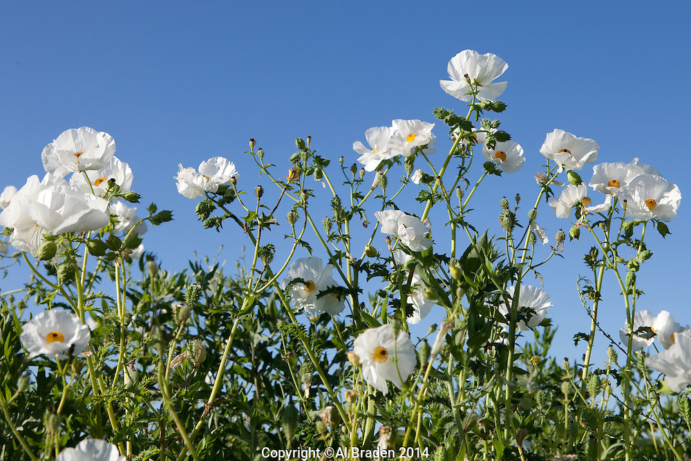 White Prickly Poppy (Argemone albiflora), DeWitt County, Texas