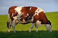16/09/08 - HAUT DOUBS - DOUBS - FRANCE - Vaches laitieres MONTBELIARDES - Photo Jerome CHABANNE