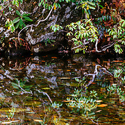 Rhododendrons reflected in still creek waters in Great Smoky Mountains National Park.