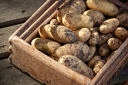 Harvested second maincrop potatoes in a wooden trug - Solanum tuberosum - Jersey Royal syn. 'International Kidney'