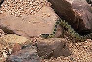 Common Kingsnake, Lampropeltis getula