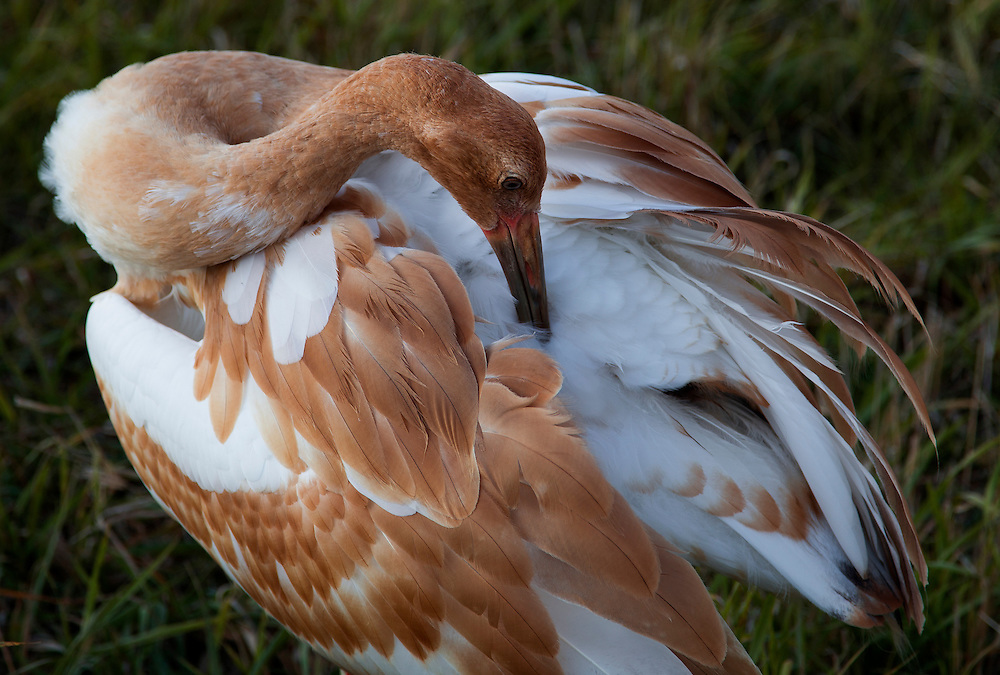 A juvenile Whooping Crane adjusts its feathers.