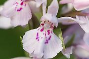 Flekkmarihånd har bare små fliker på blomstens leppe, midtfliken er mindre enn de to på siden. Blomstene er lyse til lyst fioletrte, med mønster i fiolett.