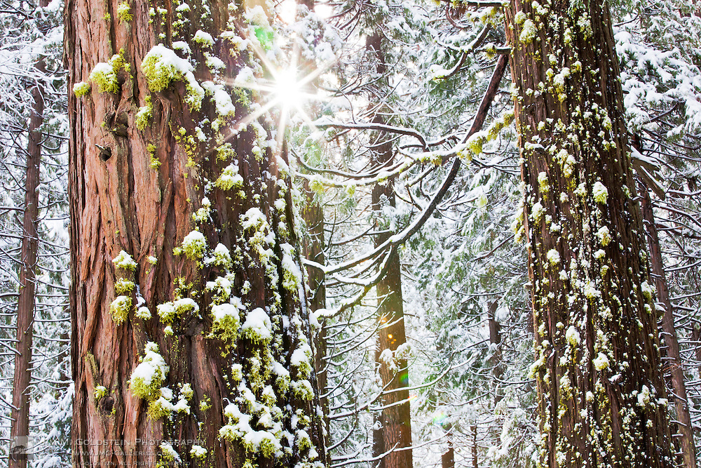 A glimmer of sunlight breaks through snow covered trees in Yosemite National Park