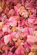 Rose colored leaves