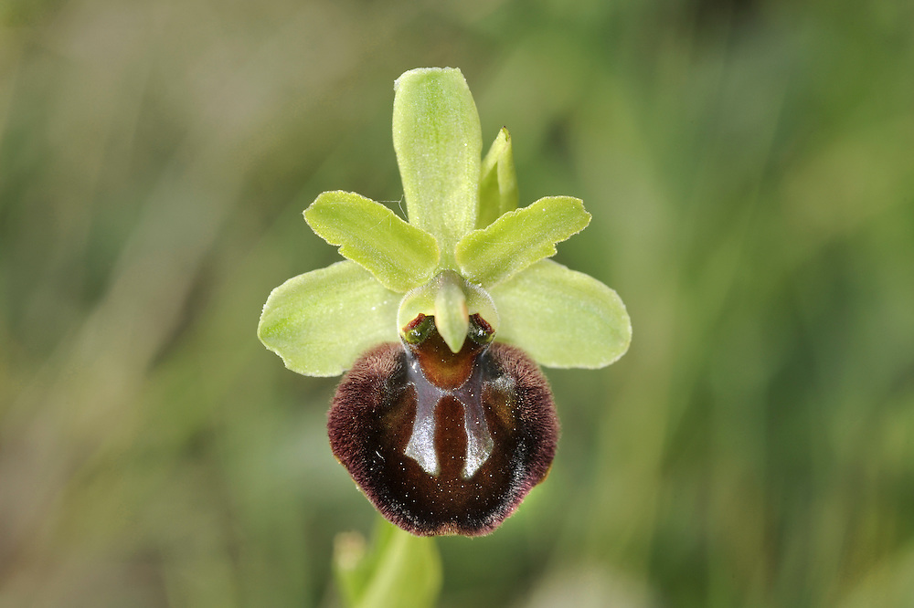 EARLY SPIDER ORCHID Ophrys sphegodes (Orchidaceae) Height to 35cm. Perennial of dry grassland, on calcareous soils. In grazed areas, the plant is often rather short. FLOWERS comprise green sepals and yellowish green upper petals; the lower lip is 12mm across, expanded, furry and maroon-brown, variably marked with a metallic blue H-shaped mark. Borne in spikes (Apr-May). FRUITS are egg-shaped. LEAVES are green and seen mainly as a basal rosette. STATUS-Local, in S England only.