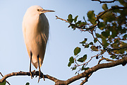 Little egret (Egretta garzetta) preparing to roost for the night. Studland, Dorset, UK.