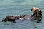 Sea Otter, Monterey, North America