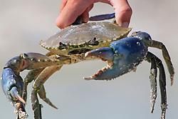 A live Kimberley mud crab