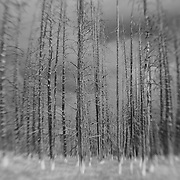 Burned Pine Tree Grove Storm Clouds - Yellowstone National Park - Black & White - Lensbaby