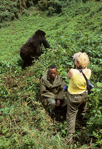 Mountain Gorilla (Gorilla gorilla beringei).  A guide and a tourist viewing apes in Volcanoes National Park, Africa.