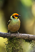 Flame-faced tanager (Tangara parzudakii)<br /> Western slopes of Andes<br /> Andes<br /> ECUADOR, South America<br /> Habitat & Range: Subtropical or tropical moist montane forests of Colomiba, Ecuador, Peru & Venezuela