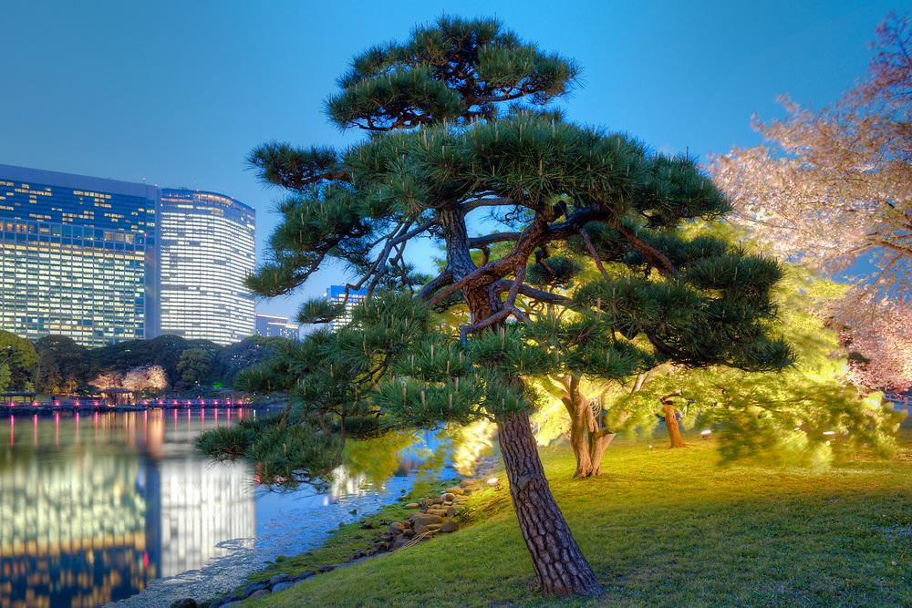 Tree at Hamarikyu (also Hama Rikyu) Gardens and modern skyscrapers of Shiodome Area, Chuo Ward, Tokyo, Kanto Region, Honshu, Japan
