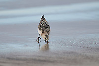Sanderling (Calidris alba) foraging along shoreline, Crescent Beach, Nova Scotia, Canada