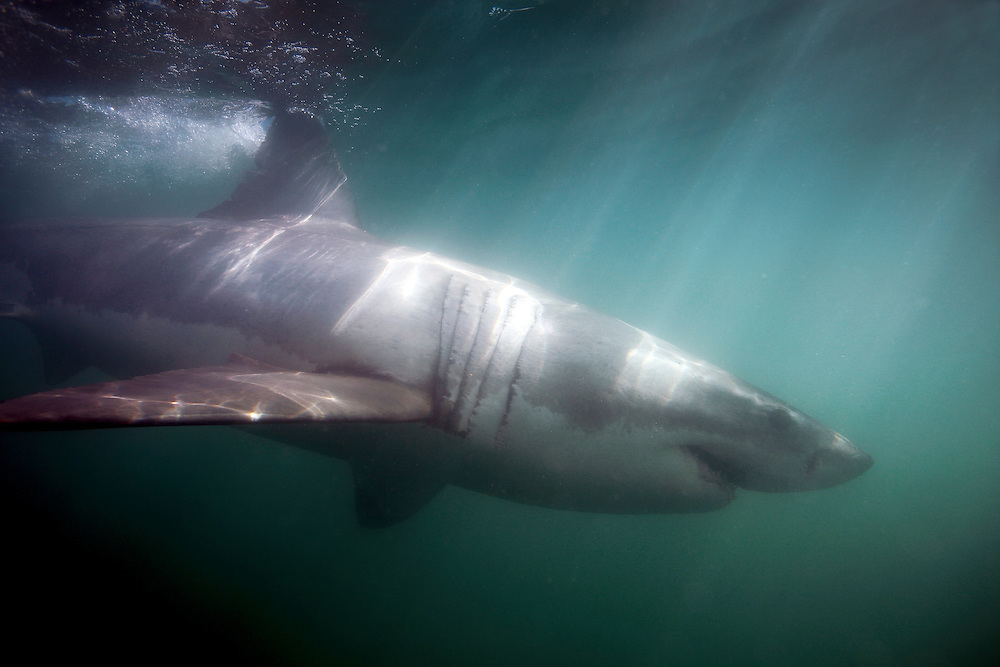 Great white shark (Carcharodon carcharias) underwater view