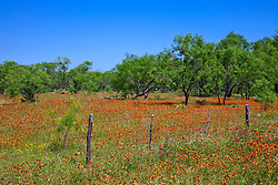 Field of red-orange Indian Blanket (Gaillardia pulchella) flanks mesquite trees on FM (Farm-to-Market) Road 1431, west of Marble Falls, Burnet County, Central Texas.