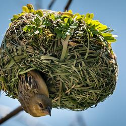 Tecelão, Tecelão-de-máscara, Tecelão-de-máscara-setentrional. A fêmea ao sair do ninho o qual foi sobmetido à inspeção exaustiva (Lat.: Ploceus velatus). Bengo, Angola