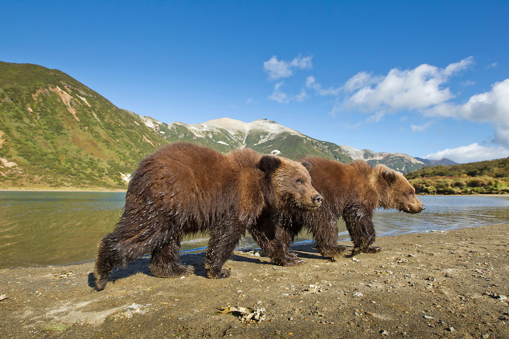 USA, Alaska, Katmai National Park, Grizzly Bear Spring Cubs (Ursus arctos) abandoned by mother walking along tidal flats by Kinak Bay