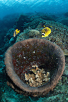 Butterflyfish and Barrel Sponge<br /> <br /> Note the Hard Coral colony growing through the bottom of the sponge.<br /> <br /> <br /> <br /> Shot in Indonesia