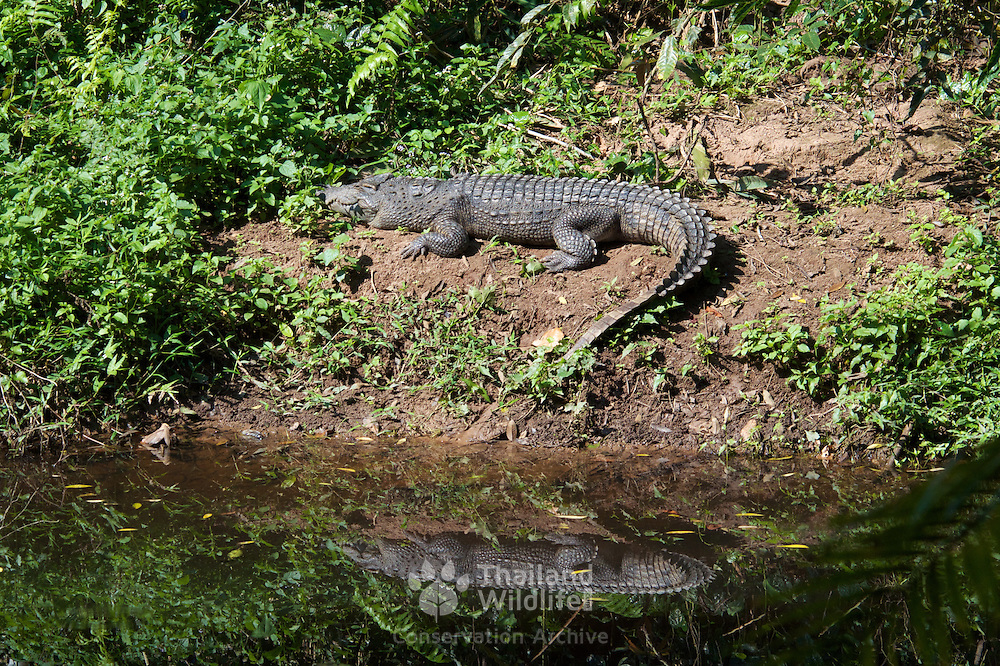 Khao Yai National Park's famous crocodile. The true origin of the beast is still not known but it is generally believed that it was probably released into the area about 15 years ago. Some believe it to be Crocodylus siamensis (Siamese crocodile) whilst other's believe it is more likely a hybrid.