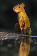 Azaras Agouti <br /> Dasyprocta azarae<br /> Pantanal, Brazil