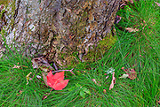 Fallen red maple leaf and green grass at the base of a tree.