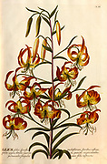 Coloured Copperplate engraving of a flowering Lilium plant from hortus nitidissimus by Christoph Jakob Trew (Nuremberg 1750-1792)