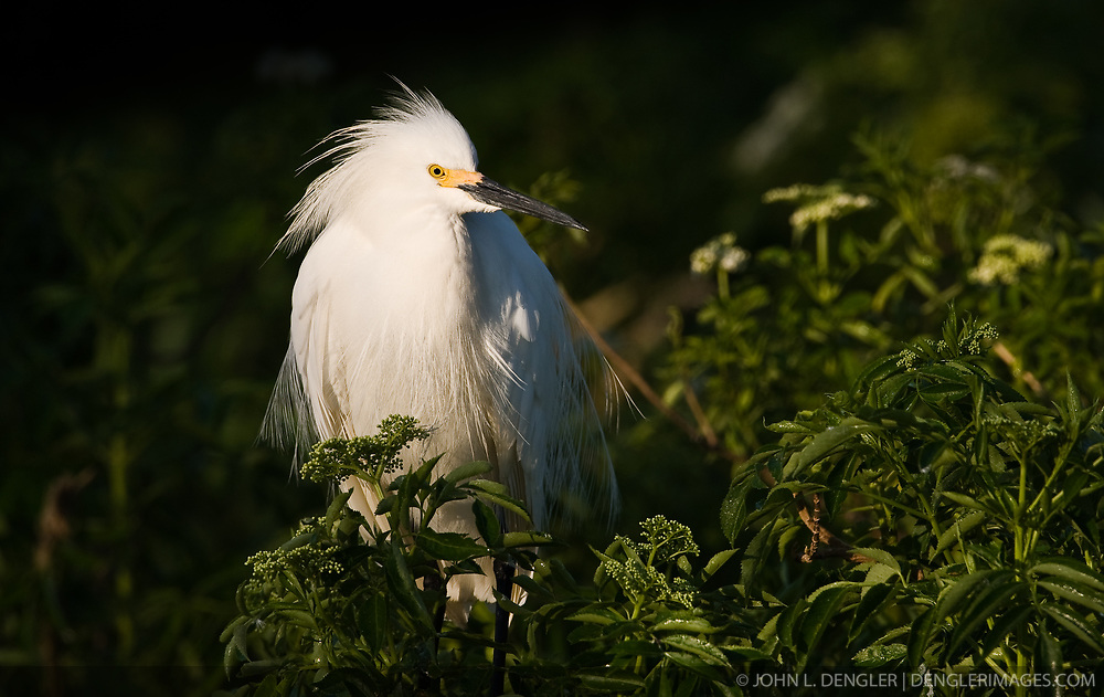 A snowy egret (Egretta thula) in the Gatorland alligator breeding marsh and bird sanctuary near Orlando, Florida. The bird sanctuary is the largest and most easily accessible wild wading bird rookery in east central Florida. Snowy egrets were hunted almost to extinction for its plumage, used by the fashion industry, in the 1800's.