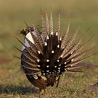 Male sage grouse displaying on a lek on BLM land south of Malta, Montana.