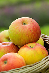 Apples in a basket - Malus 'Peasgood's Nonsuch'