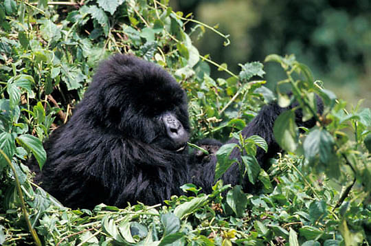 Mountain Gorilla, (Gorilla gorilla beringei) Female feeding. Volcanoes National Park. Rwanda. Africa.