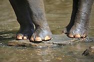 Asian elephant, Sri Lankan elephant, Elephas maximus maximus, Asiatische Elefant, elefante asiático, éléphant d'Asie, 亚洲象, アジアゾウ, فيل آسيوي