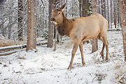 An elk (Cervus elaphus) on a snowy trail in Big Hole National Battlefield, Montana. Photographed with a trail camera via a premit issued by the National Park Service.