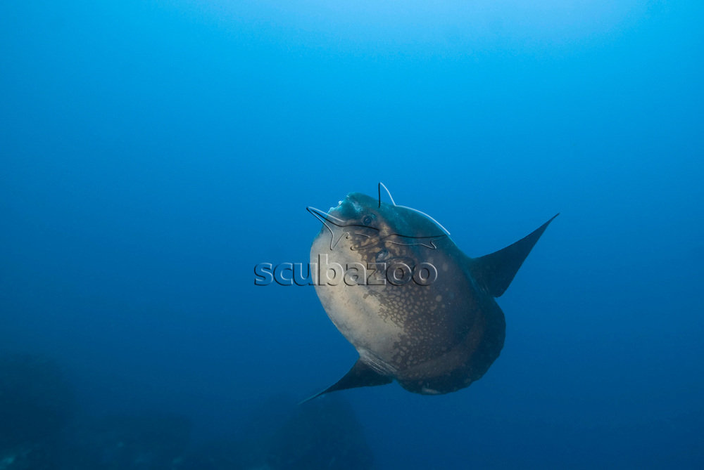 Ocean Sunfish, Mola mola, Great Ocean Adventures shoot, Bali, Indonesia.