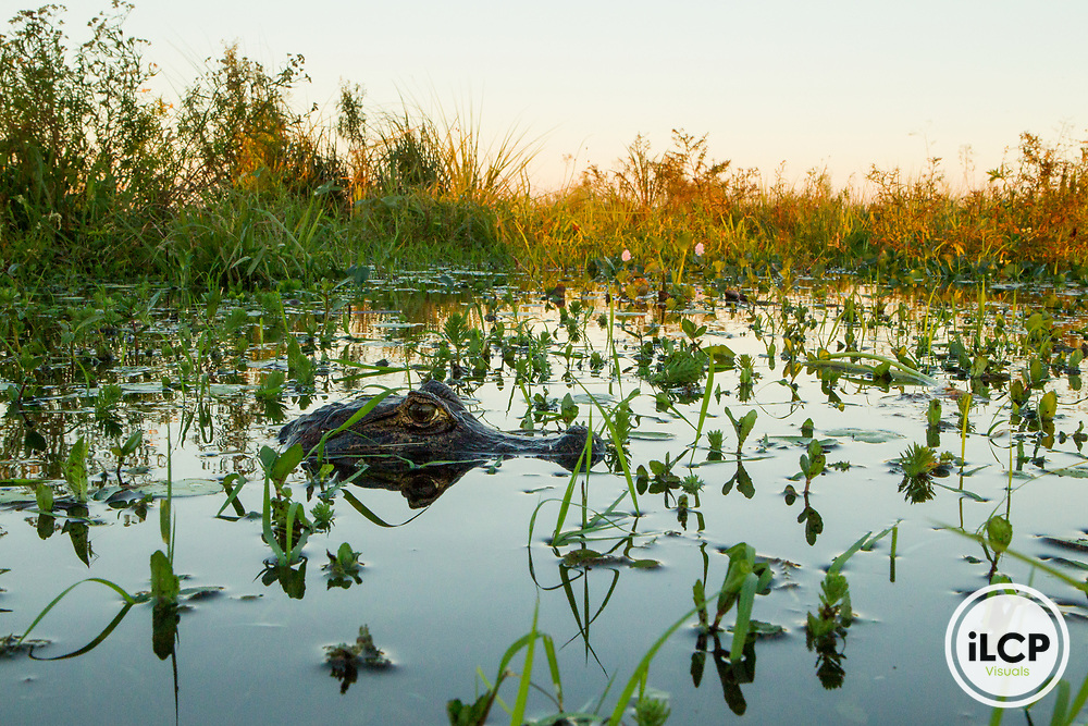 Jacare Caiman (Caiman yacare) juvenile in marsh, Ibera Provincial Reserve, Ibera Wetlands, Argentina