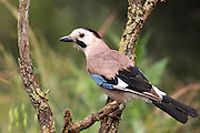 Eurasian Jay (Garrulus glandarius) This bird is found throughout western Europe, northwest Africa and southeast and eastern Asia. It hoards acorns over the winter months and prefers woodland dominated by oak. It will also feed on insects, fruits, young birds, mice, small reptiles and small snakes. The jay is a mimic, sounding like another species of bird in its call. Photographed in Israel March
